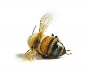 pszczola_fc56ffe13f_jpg